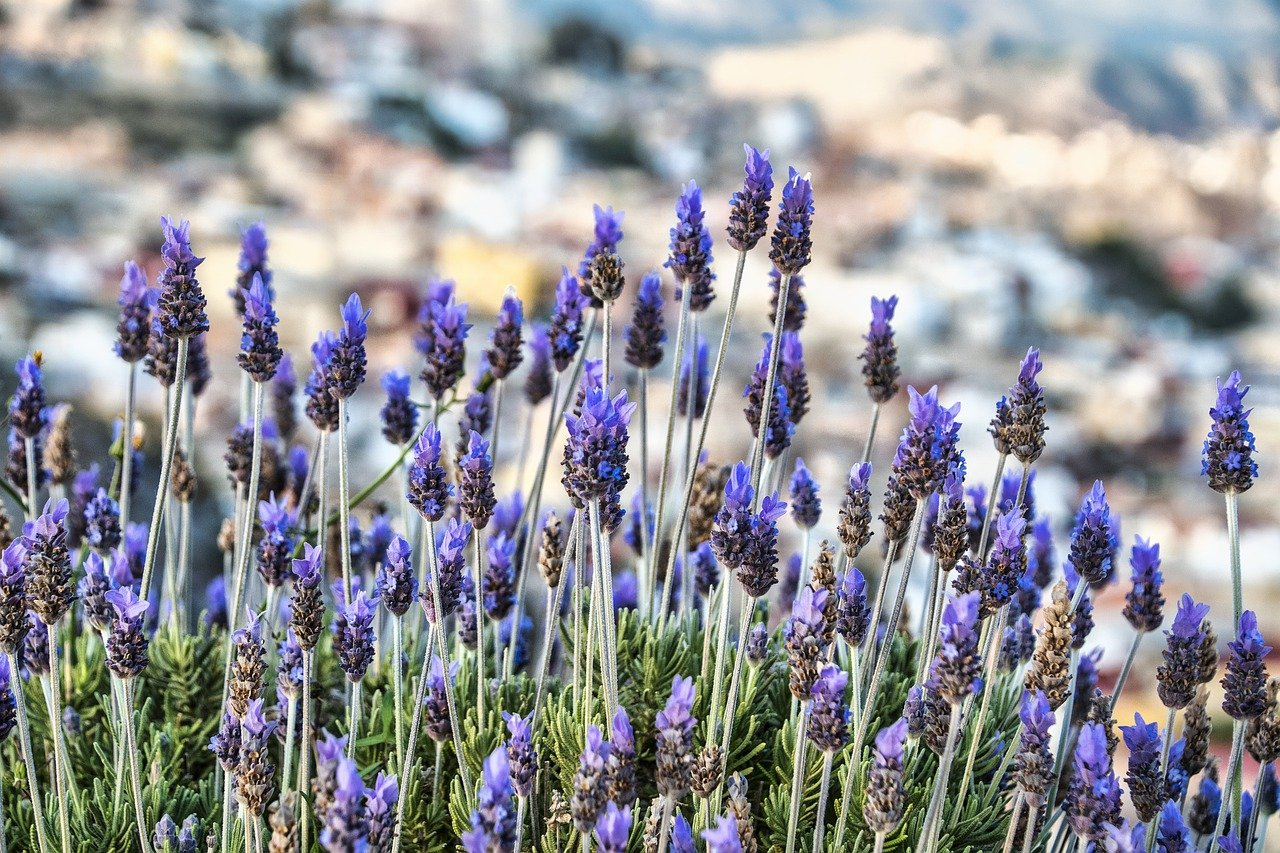 lavenders, flowers, nature